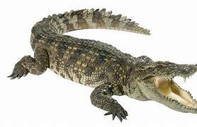 ALLIGATOR鳄鱼 的图像结果