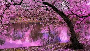 spring, blooming, trees, , pink, blossoms, of, cherry, river, reflection, in, water, japan, wallpaper, hd