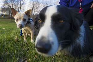 Border, Collie, Saves, Chihuahua, From, Coyote, In, City, Ravine