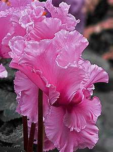 Frilly, Flowers