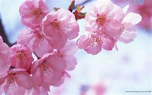 Sakura, Flower, Wallpapers, Free, Pictures, On, Greepx