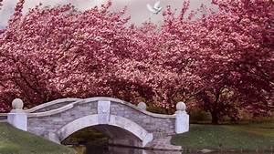wallpaper, japan, , 5k, , 4k, wallpaper, , blossom, , cherry, , bridge, , river, , dove, , nature, , 6473