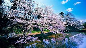 Cherry, Blossom, Trees, Wallpapers
