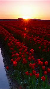 Wallpaper, Skagit, Valley, 4k, 5k, Wallpaper, 8k, Washington, Usa, Tulip, Fields, Sunset, Travel